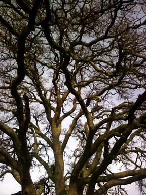 CA Oak Tree